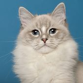 Ragdoll cat, 1 year old, in front of blue background