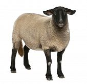 foto of suffolk sheep  - Female Suffolk sheep - JPG
