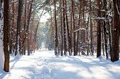 Nature In Peace. Horizontal Image Of Sunrays And Narrow Footpath With Snow Covered Trees During Plea poster