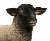 picture of suffolk sheep  - Female Suffolk sheep - JPG