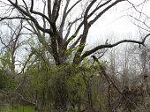 Lanky Tree
