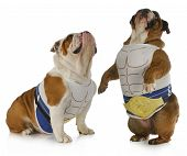 strong dog - two english bulldogs wearing muscle shirts looking up