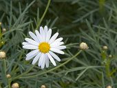 Daisy And Little Buds In Green