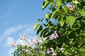 Flowering Lilac Bushes