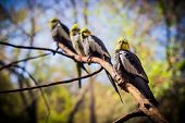 picture of cockatiel  - four cockatiels on tree branch - JPG