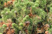Pine Trees With Cones