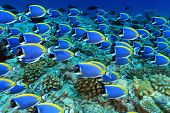 stock photo of indian blue  - Shoal of powder blue tang in the coral reef - JPG