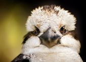 picture of blue winged kookaburra  - Kookaburra native Australian bird in the wild close up