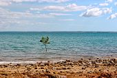 image of darwin  - A single Mangrove tree grows in Darwin Harbour - JPG