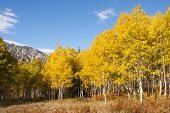 Aspen grove in fall, populus tremuloide