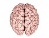Gehirn-Draufsicht