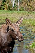 Moose Calf On A Sunny Day