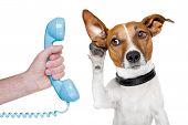 foto of white terrier  - dog on the phone male hand listening carefully - JPG