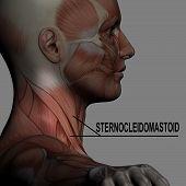 Sternocleidomastoid poster