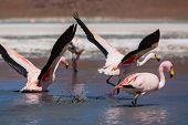 picture of eduardo avaroa  - flamingo in Bolivia - JPG