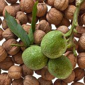 Ripe And Unripe Walnuts