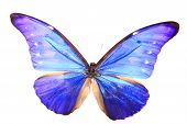 Morphidae: dazzling Blue Colors Butterfly