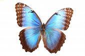 Morphidae: morpho Helena Staudinger, blue And Brown Butterfly
