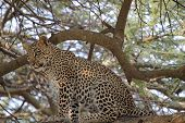Leopard Sitting On A Tree