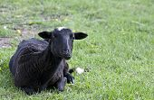 A black lamb rests
