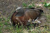Ashy-headed Goose