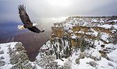 stock photo of bald head  - Bald eagle flying above grand canyon - JPG