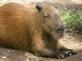 Carpincho roedor