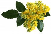stock photo of aquifolium  - Mahonia aquifolium Oregon-grape wild flower holly leaves evergreen in spring time