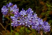 Blue African Lily (agapanthus Africanus)