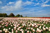 Red And White Tulipd On Dutch Spring Fields