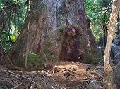 Australian Forest Giant Trunk And Moss Root Base