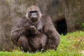 Gorila occidental (Gorilla gorilla de gorila)