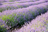 lavander fields detail