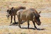 Couple Of Warthogs