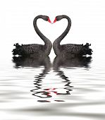 stock photo of black swan  - Two romantic black swans creating heart shape with necks - JPG