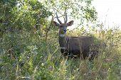 Bushbuck - Tragelaphus Scriptus