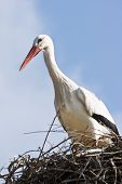 pic of bird-nest  - European white stork standing on nest in spring - JPG