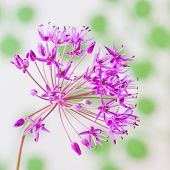Decorative Allium Flower On Abstract Background