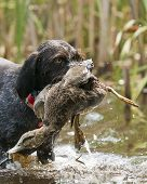 Dog with a duck