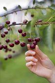 stock photo of cherry-picker  - Woman picking ripe cherries close up shoot - JPG