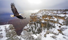 stock photo of bald headed  - Bald eagle flying above grand canyon - JPG