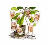Money Tree.