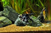 Angel fish in home aquarium
