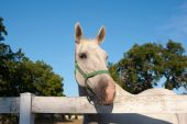 foto of lipizzaner  - White Lipizzan Horse On a Meadow in Summer Sun - JPG