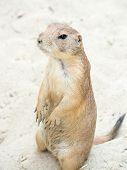 Prairie Dog (genus Cynomys) Standing Up On His Legs