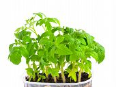 Seedling Of Young Tomato Plant In Capacity With  Land Is Isolated
