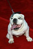 Tubbs the bulldog   at the world premiere of
