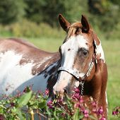 pic of paint horse  - Nice paint horse mare behind some purple flowers - JPG