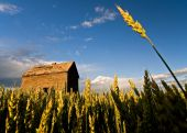 Wheat reaching to the sky