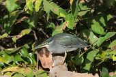 Striated Heron With Spider